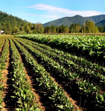 Pacific Botanicals - Growers & Suppliers of High Quality Certified